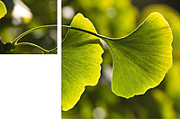 Ginkgo, Steca, Company, Environmental protection, climate protection